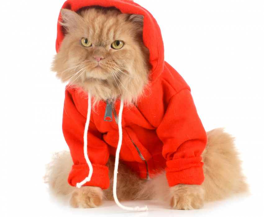 tan cat in red hoodie sweatshirt on white background